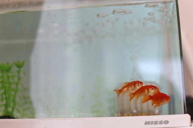 goldfish_r